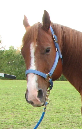 Markings On A Horse. My horse Quarter Horse Jack